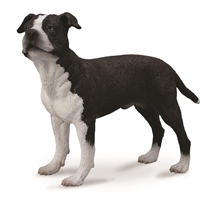Chats et chiens - American Staffordshire Terrier - L